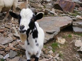 2008-08-03 ercavallo e montozzo pecore e caprette (5)