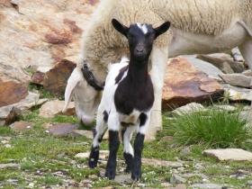 2008-08-03 ercavallo e montozzo pecore e caprette (6)