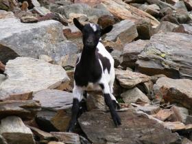 2008-08-03 ercavallo e montozzo pecore e caprette (8)