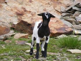 2008-08-03 ercavallo e montozzo pecore e caprette