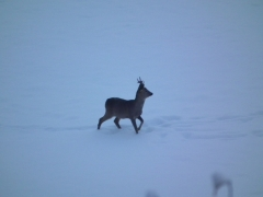 caprioli nella neve