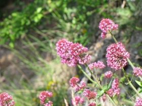 2009-05-03 centratus ruber