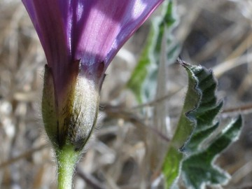 2011-09-02-Convolvulus-althaeoides-Sardegna-6