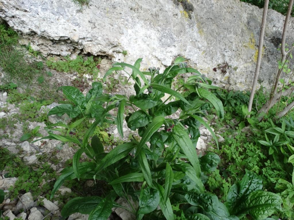 2014-07-05 Menna da Roncobello Cynoglossum officinale(10)