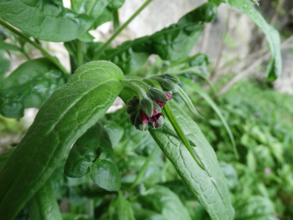 2014-07-05 Menna da Roncobello Cynoglossum officinale(12) - Copia