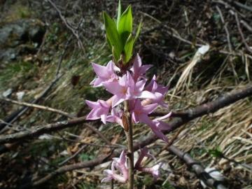 2011-03-18 fiori cornalba 027