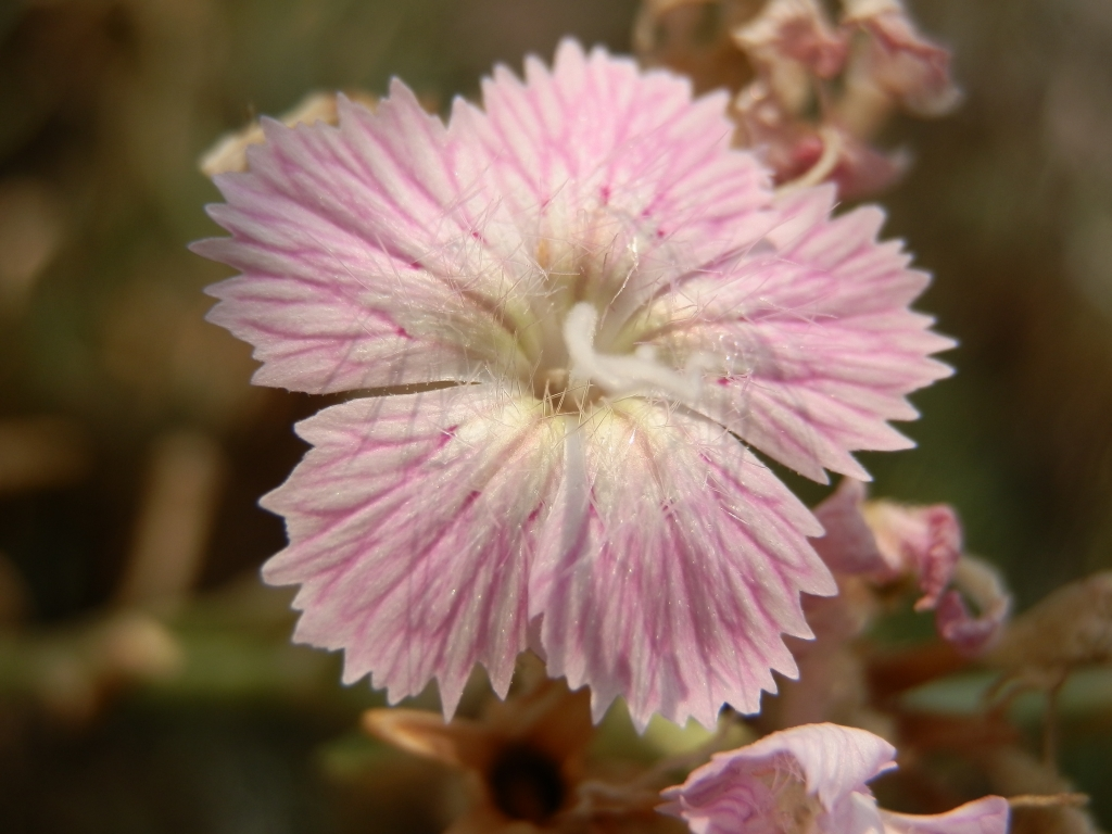 2017-08-21 Creta Dianthus fruticosus sub occidentalis (11)