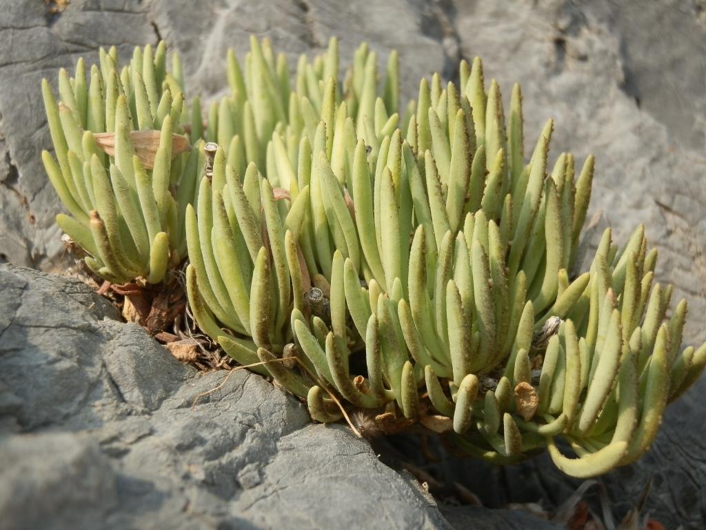2017-08-21 Creta Dianthus fruticolus sub occidentalis (19)