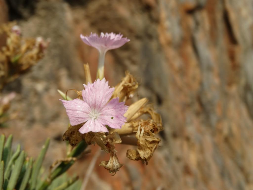 2017-08-21 Creta Dianthus fruticolus sub occidentalis (20)