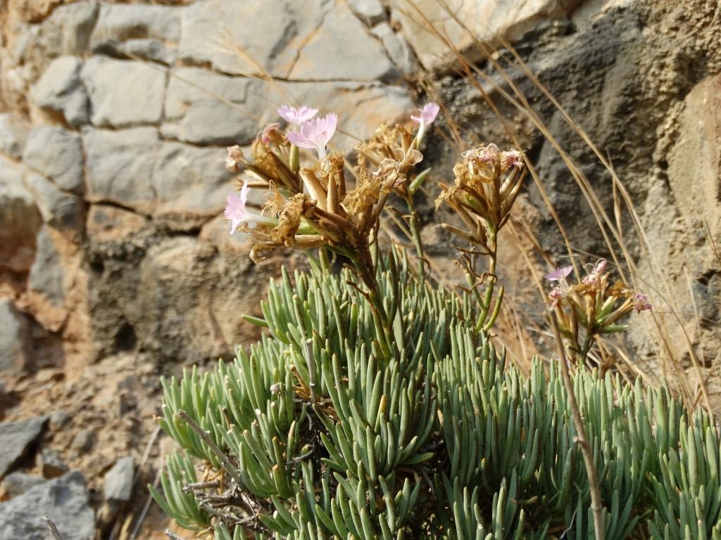 2017-08-21 Creta Dianthus fruticolus sub occidentalis (22)