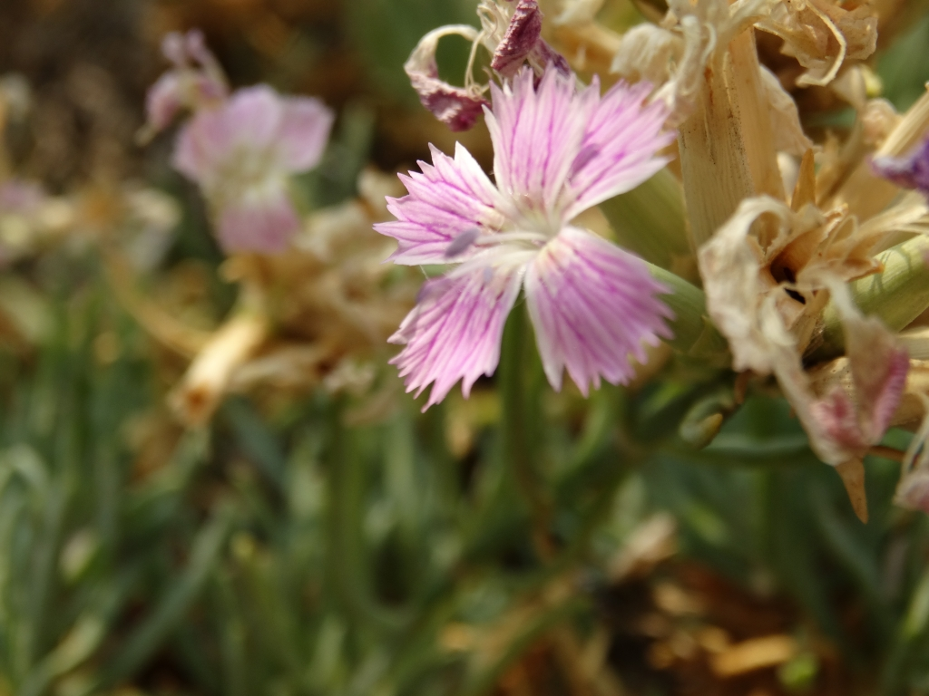 2017-08-21 Creta Dianthus fruticolus sub occidentalis (25)