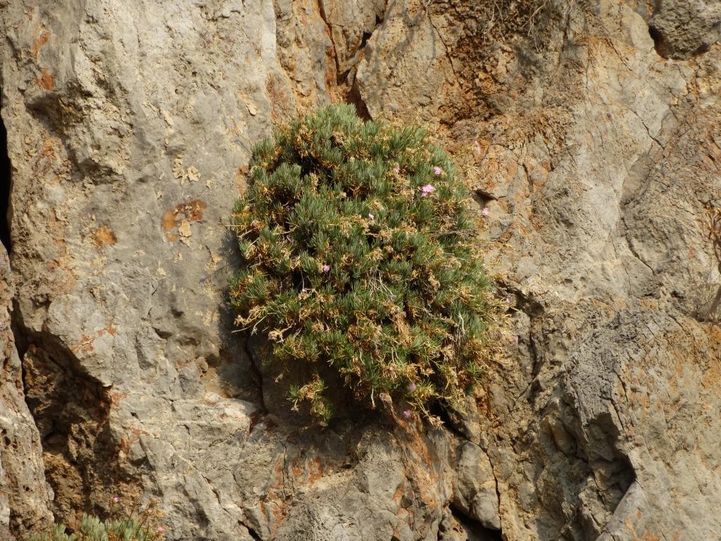 2017-08-21 Creta Dianthus fruticolus sub occidentalis (30)