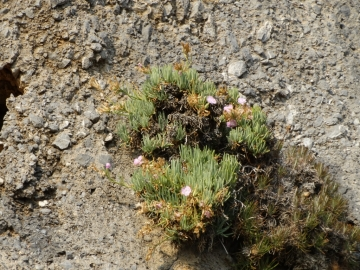 2017-08-21 Creta Dianthus fruticolus sub occidentalis (28)