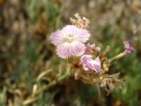 2017-08-21 Creta Dianthus fruticolus sub occidentalis (24)