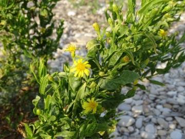 2021-09-06-fiori-Scerne-di-Pineto-59