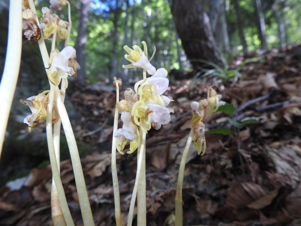 2018-07-25 Epipogium aphyllum (53)