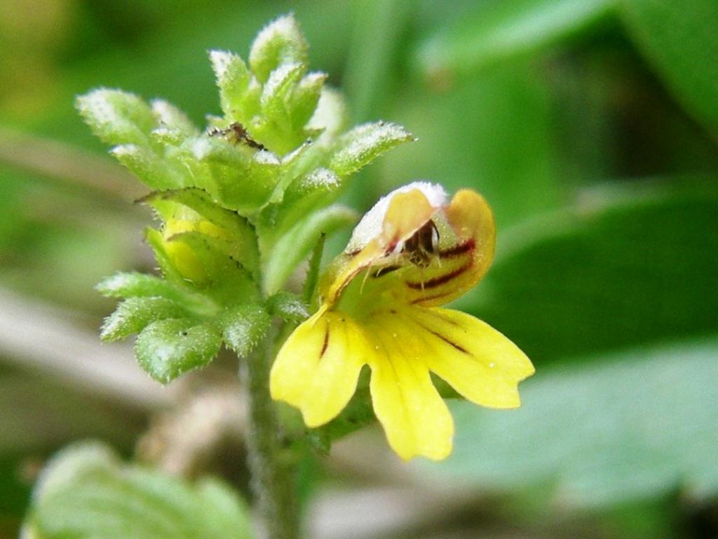 2008-08-03 ercavallo e montozzo euphraisa variante gialla (2)