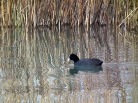 2012-03-17 Folaga comune Fulica atra (15)