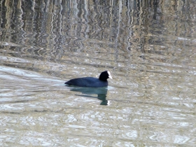 2012-03-17 Folaga comune Fulica atra (19)