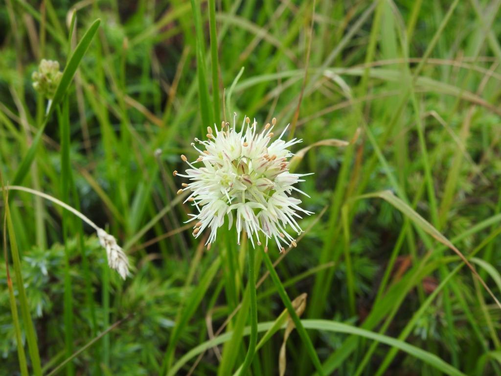 2019-08-08-cima-Trappola-Allium-ochroleucum-18