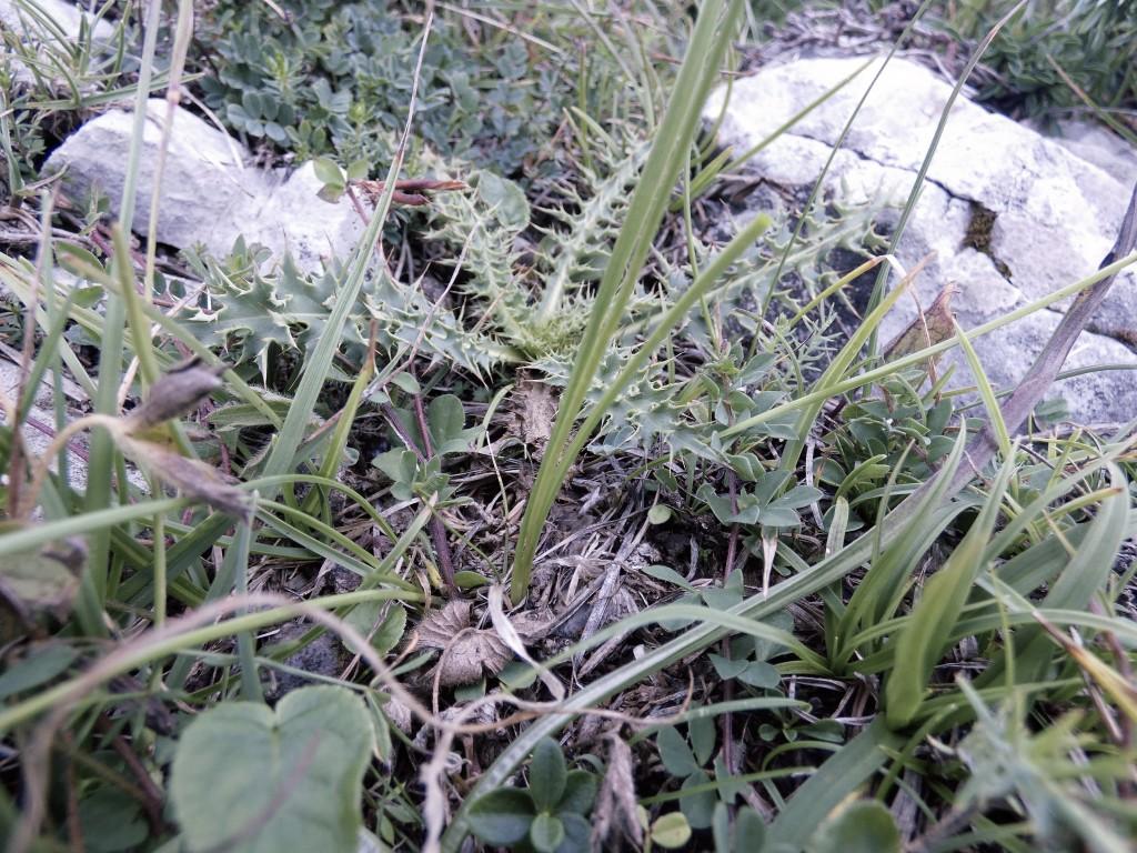 2019-08-08-cima-Trappola-Allium-ochroleucum-22