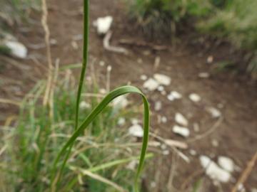 2019-08-08-cima-Trappola-Allium-ochroleucum-15