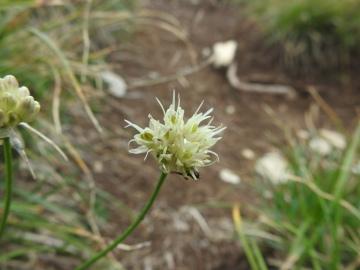 2019-08-08-cima-Trappola-Allium-ochroleucum-17