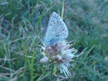 2019-08-08-cima-Trappola-Allium-ochroleucum-28