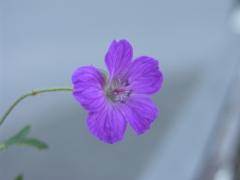 Geranium pratense