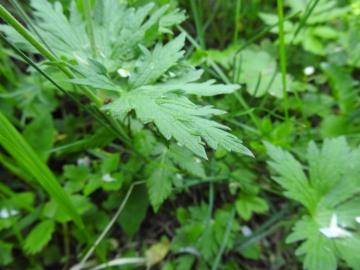 2017-06-11 cima Venegiota e Primula tyrolensis 015