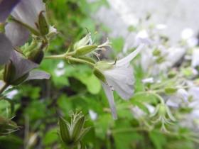 2017-06-11 cima Venegiota e Primula tyrolensis 019