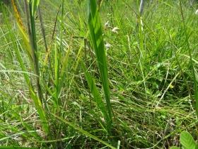 2016-06-24 Gladiolus italicus (5)