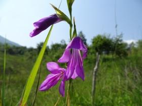 2016-06-24 Gladiolus italicus (6)