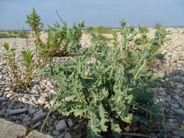 2021-09-06-fiori-Scerne-di-Pineto-11