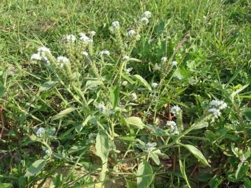 2021-09-06-fiori-Scerne-di-Pineto-44