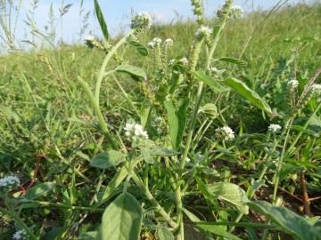 2021-09-06-fiori-Scerne-di-Pineto-52