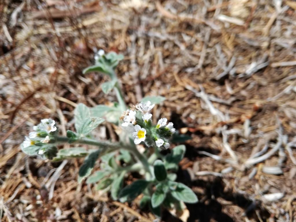 2018-08-31  Heliotropium hirsutissimum  Creta