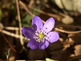 2008-02-12 hepatica nobilis anemone fegatella, s_antonio 061