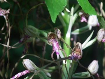 2011-05-19 Himantoglossum adriaticum 006