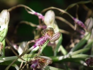 2011-05-19 Himantoglossum adriaticum 032