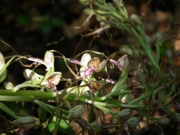 2011-05-19 Himantoglossum adriaticum 036