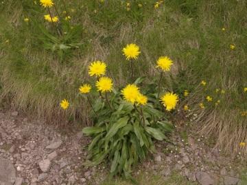 Hypochoeris-uniflora-monte-Colombine-1