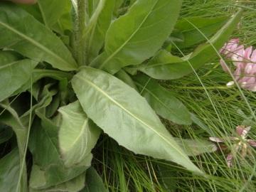 Hypochoeris-uniflora-monte-Colombine-4