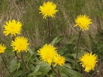 Hypochoeris-uniflora-monte-Colombine-6