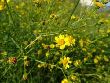 2021-09-06-fiori-Scerne-di-Pineto-27
