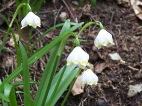 leucojum vernum o campanella Ario apr 2006 (3)