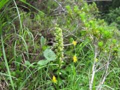 Leucorchis albida s.tricuspis