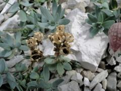 Linaria tonzigii