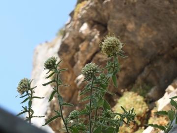2012-08-13 madonna corona campanula petraea 029