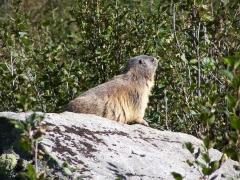 marmotte e marmottini